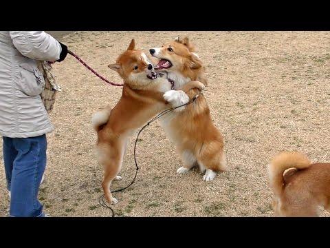 Roku & Shiba inu / ロクさんと柴犬 20160212 welsh corgi dog コーギー 犬 わんこ shibas doge