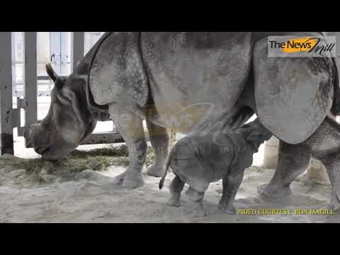 Historic birth of Indian rhino by artificial insemination at Zoo Miami