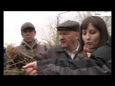 В Барнауле будут раздавать саженцы березы в обмен на макулатуру