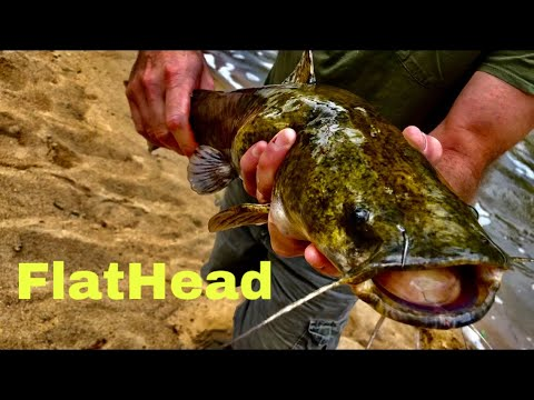 Tar River North Carolina Flathead Catfish Catch