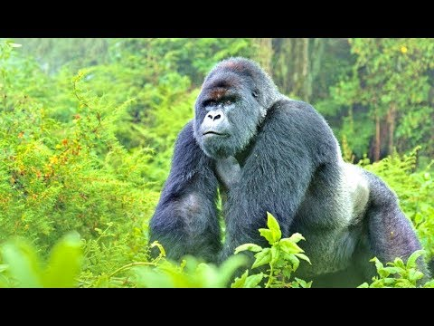 Amazing Facts About The Silverback Gorilla
