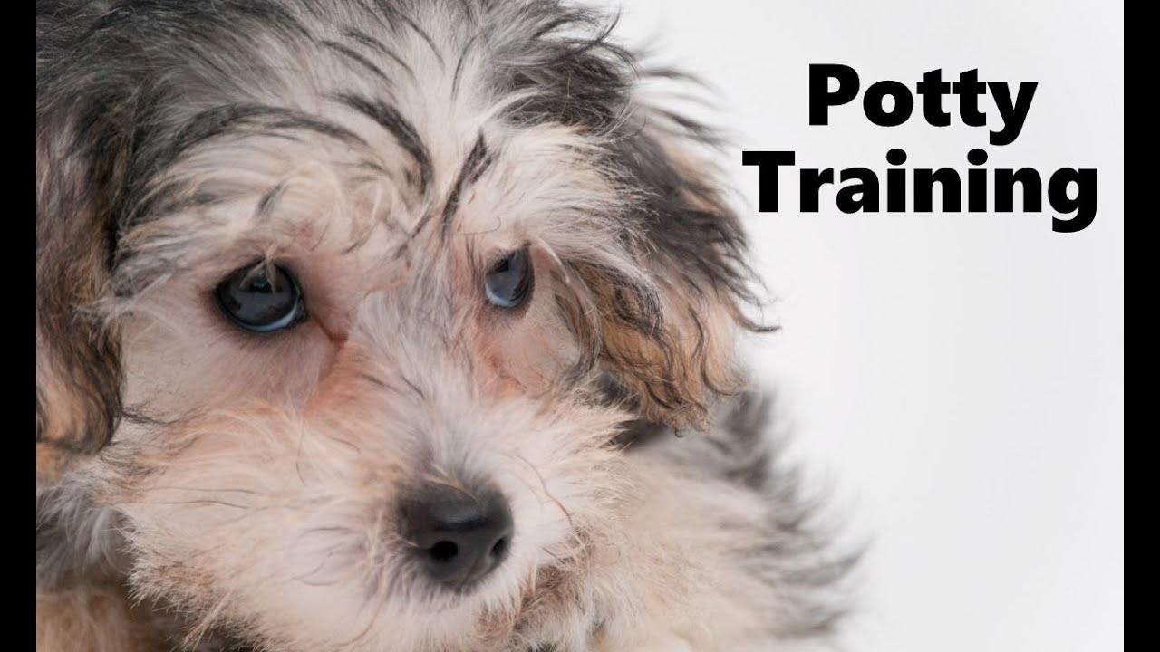 How To Potty Train A Yorkie Poo Puppy Yorkiepoo House Training