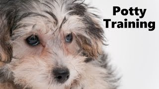 How To Potty Train A Yorkie Poo Puppy - YorkiePoo House Training Tips - Yorkie Poo Puppies