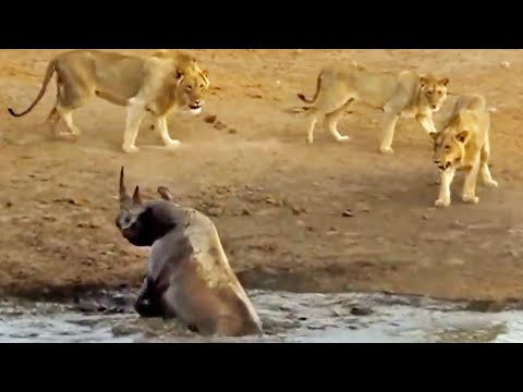 3 Lions Attack Black Rhino That
