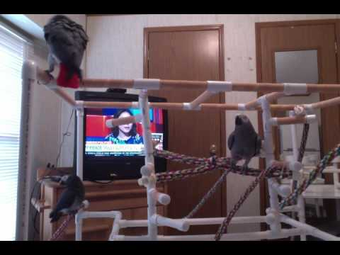 Zaz Ethel Mosley African Grey Parrots