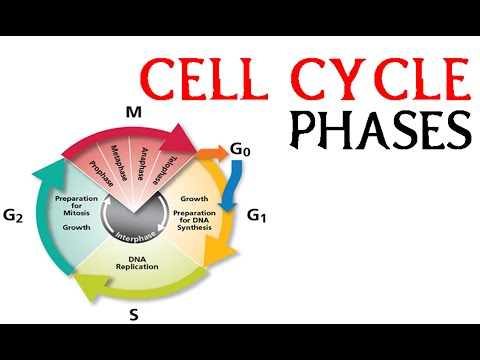 Cell cycle phases | prophae, metaphase, anaphase and telophase