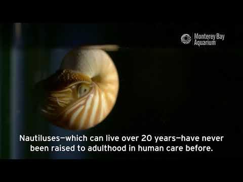 Chambered Nautilus Are Hatching At The Aquarium!