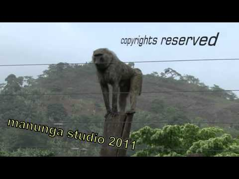 Baboon dancing Limbe Wildlife Centre Cameroon