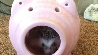 【ハリネズミ】ブタの中でパクパクもぐもぐw thumbnail