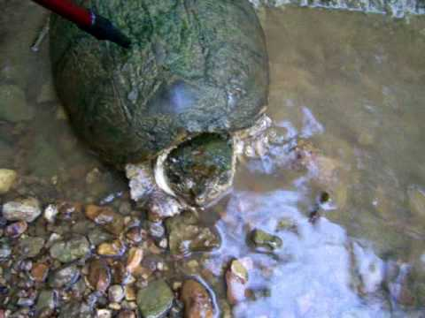 Tn Snapping turtle.MOV
