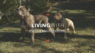 ALL ABOUT LIVING WITH OLDE BULLDOGGES