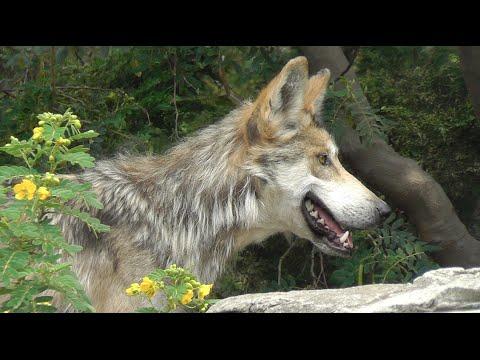 El Lobo Mexicano (Canis lupus baileyi) en el Zoológico de San Juan de Aragón