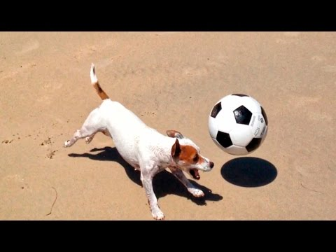 Jack Russell terrier is good at soccer!