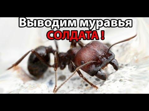 Выводим муравья СОЛДАТА !