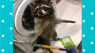 Best Cute Raccoon Video Compilation|| Funny Baby And Pet