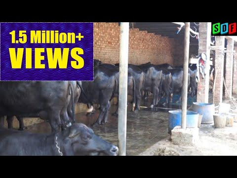 A dairy farmer who earn 1.2 lak Rs per month with 20 animals from Karad Wala(BHATINDA)
