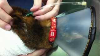 腎不全になってしまったモミちゃん 退院後、自宅での補液が必要な為、指...