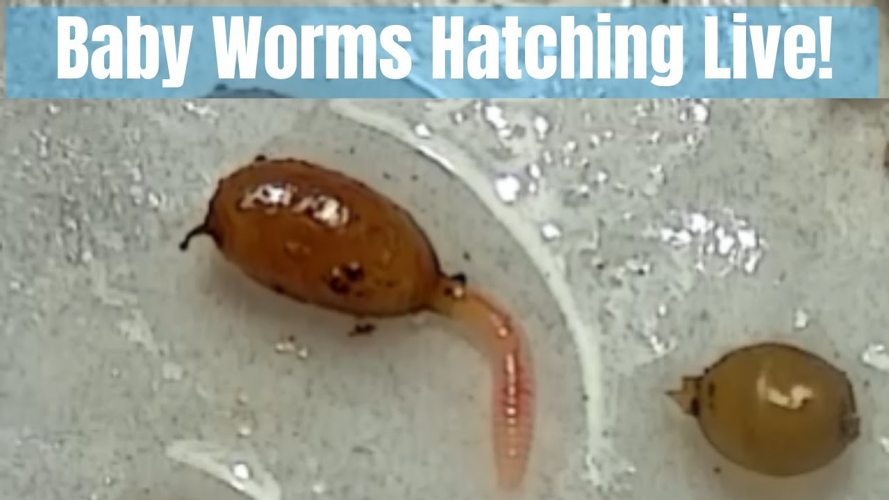 Baby Worms Hatching Live