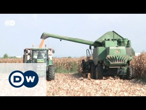 Genetically modified maize takes over in Spain | Eco-at-Africa