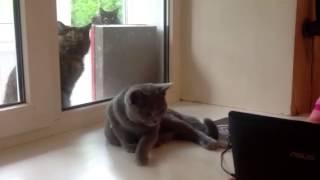 Британский голубой котенок. Питомник Лия. Продажа