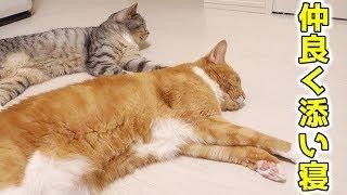 茶トラ猫の「ちゃい」と、サバトラ猫の「すし」が仲良く一緒に床で寛い...