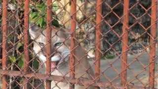 ピューマの鳴き声(東山動物園)Cougar's voice