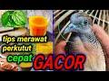 Tips Merawat Perkutut Agar Rajin Bunyi Klubburung(.mp3 .mp4) Mp3 - Mp4 Download