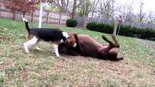 Two Dogs Wrestling For Fun