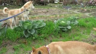 山陰柴犬もみじの見事な食べっぷり.