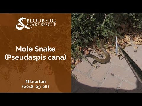 Mole Snake rescued near Milnerton (20180326)