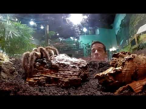 Chilean rose tarantula - Creepy Crawlies at RZSS Edinburgh Zoo
