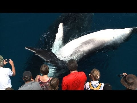 Whale Watching Hervey Bay close encounters travel video guide Queensland Australia