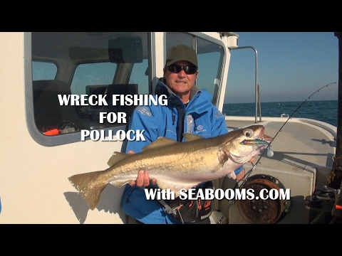 Wreck Fishing For Pollock Out Of Weymouth Hosted By Seabooms.com