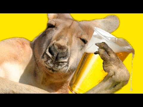 Proof That Kangaroos Are Actually Drunk