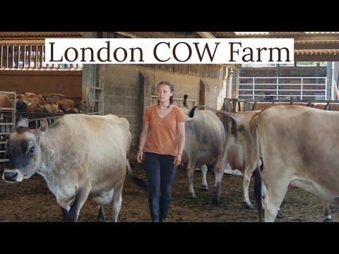 ❤ Diary Farm In London UK | English Girl Farmer | Cow Farm London UK | Fresh Milk | British farming❤