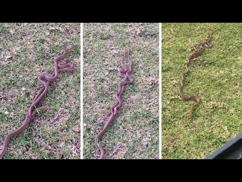 Bizarre Moment When Three Snakes Are Caught In The Act