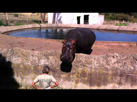 Feeding the Hippopotamus at the Fréjus Zoo Parc in France