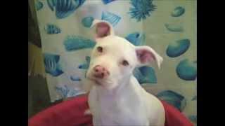 Perro albino ahullando,  Albino dog howling.