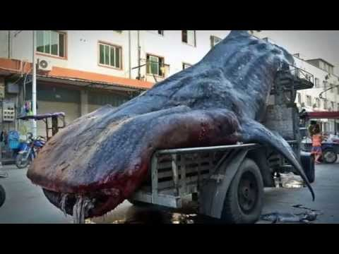Fisherman Transports Massive Whale Shark on Truck in China