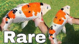 Rare MULTI COLORED KOI SAVES baby fish for SADNESS!!