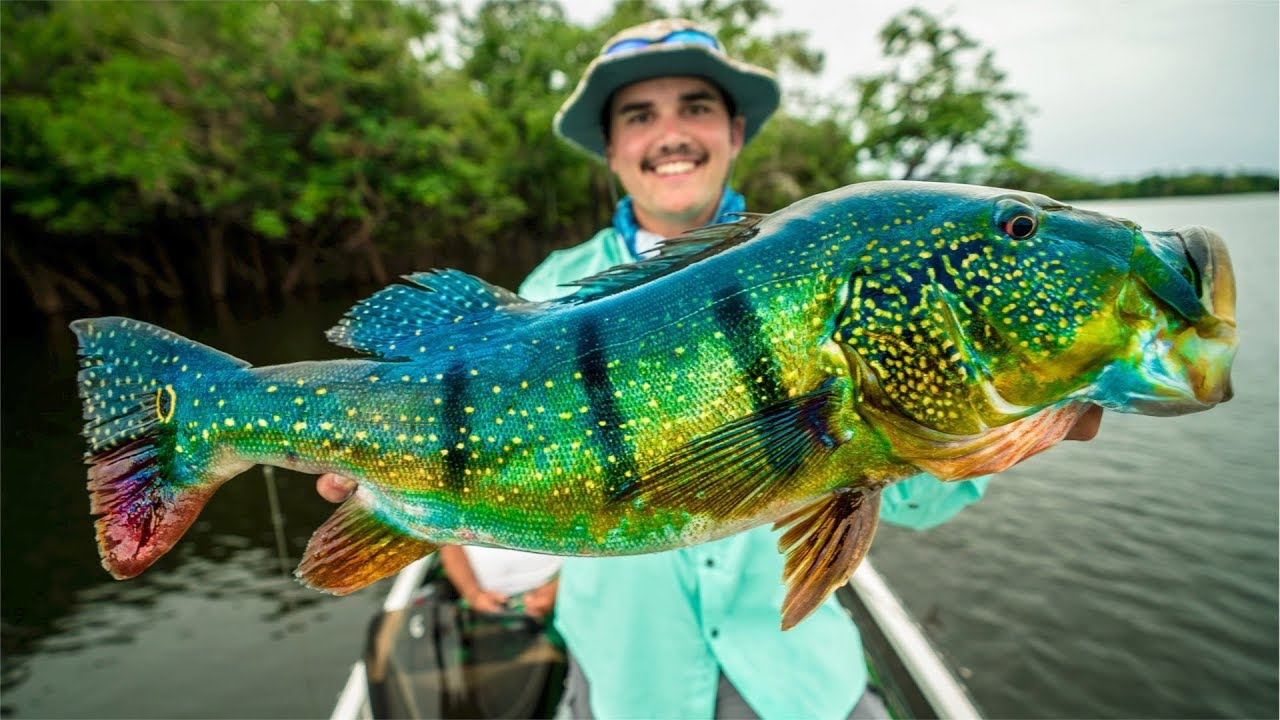 catching giant peacock bass in the amazon new pb youtube. Black Bedroom Furniture Sets. Home Design Ideas