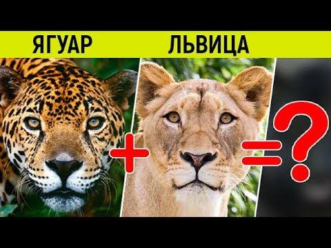 Что будет если скрестить ягуара и льва? // Удивительные гибриды больших кошек, которых вывели люди
