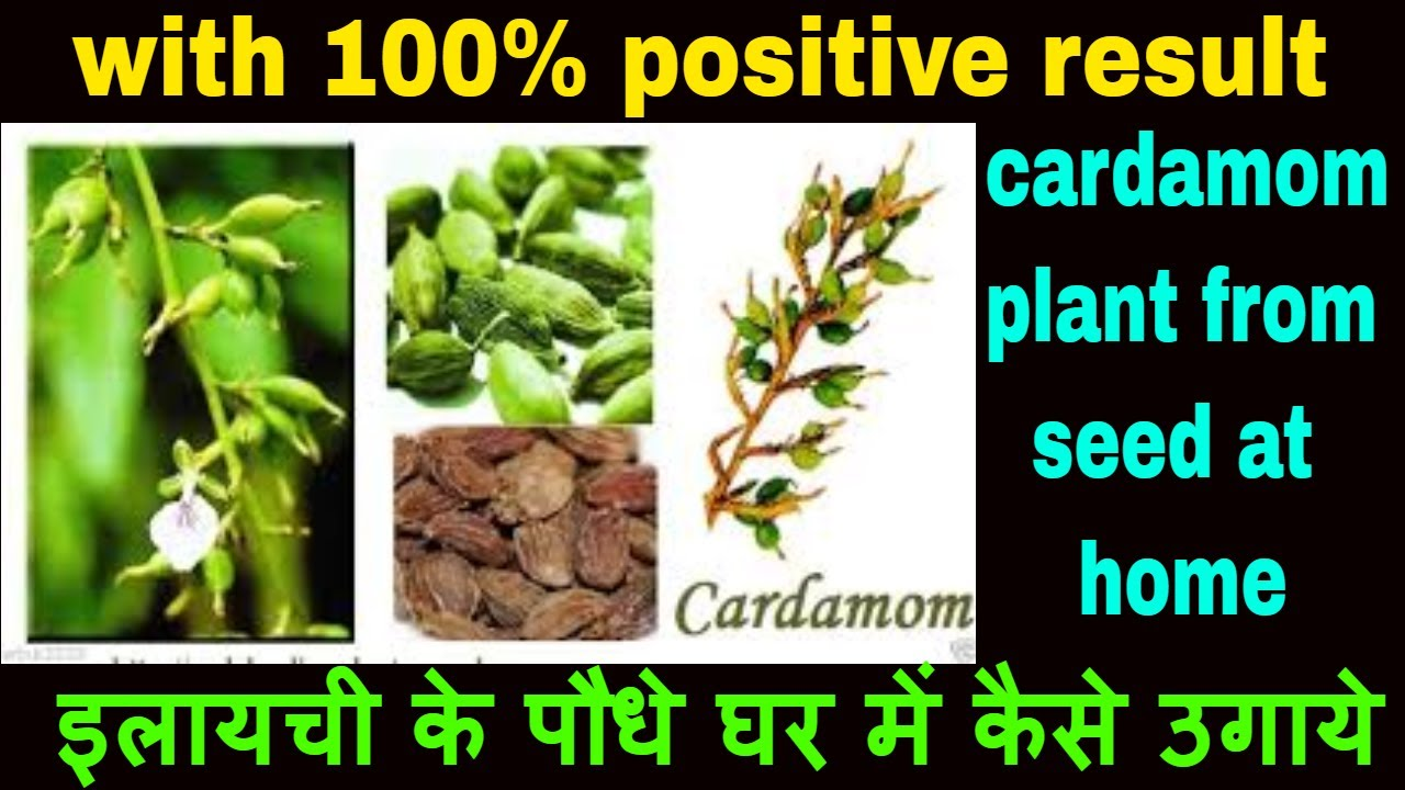 How To Grow Cardamom Plant from seed at home   cardamom spices seeds germinate in paper towel method