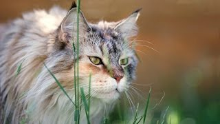 Уход за кошкой Мейн Кун, Породы Кошек
