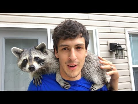 Living With A Raccoon: 1 Year Update