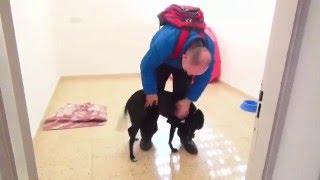 собака встречает хозяина после длинной разлуки (черный лабрадор дворняга)  радостная встреча