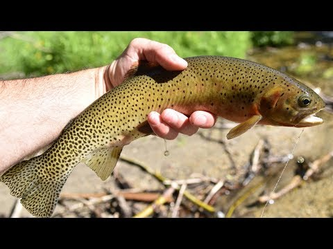 Dry Fly Tenkara Fly Fishing For Westslope Cutthroat On A Small Montana Creek