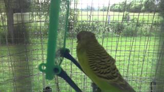 Budgie/Parakeet With Swollen Eye