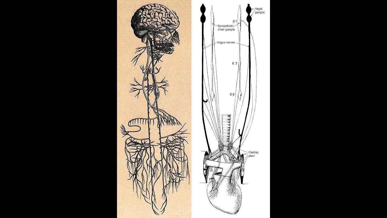 Vagus Nerve 3 Brains Part 2 Youtube