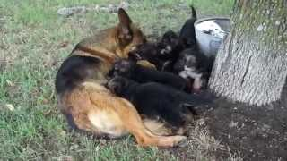 German Shepherd Puppies 2014 Litter - Von Der Otto German Shepherds